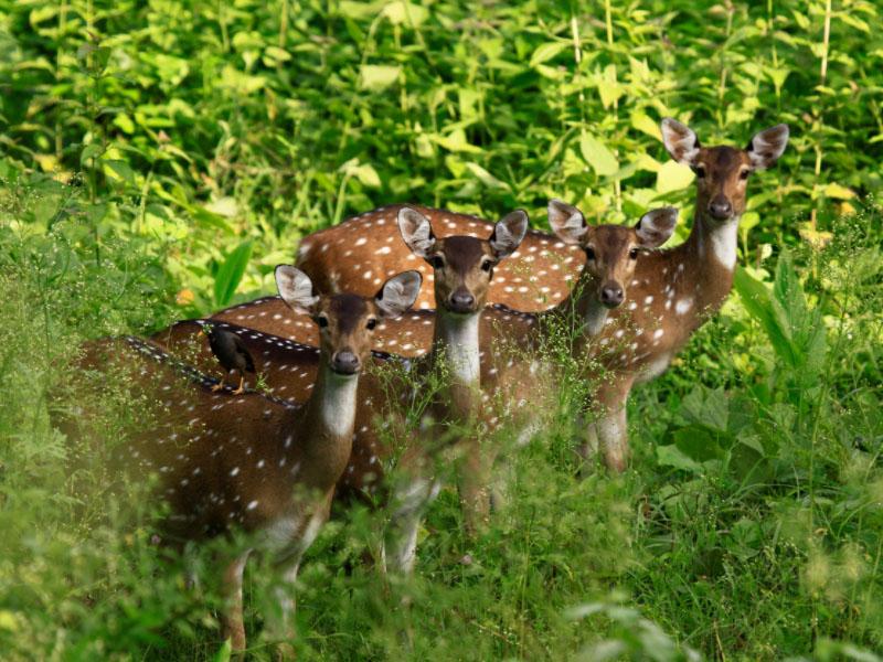 4 Deers